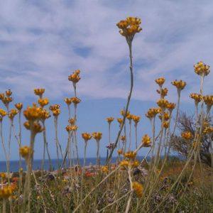 Άγρια βότανα της Κρήτης.
