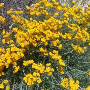 Ελίχρυσος Helichrysum